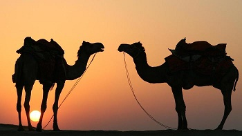 how-long-can-a-camel-last-without-water_6da53089-83b4-4dfd-af27-c68bad6d35a6